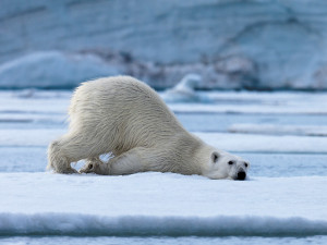 Bear rest