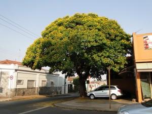 Sibipiruna/Foto: Antonio de Andrade